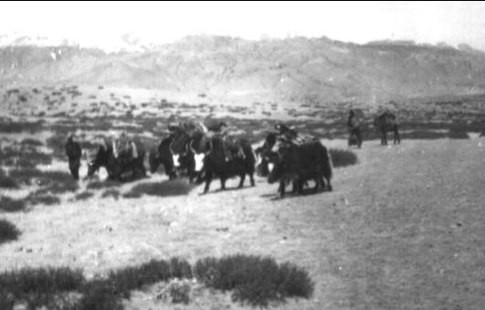 [陈德昌教授]: 1971年西藏阿里的故事(6/15): 阿里高原上的牦牛
